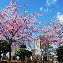 『河津桜が満開に』江の島も望める伊勢山公園(藤沢市)