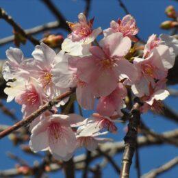 2021年春の訪れ告げる河津桜@瀬谷区目黒町の境川沿いで開花