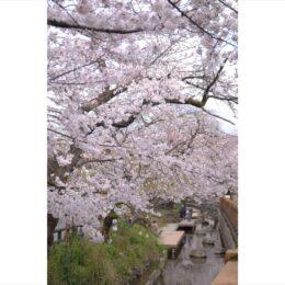 2年連続の中止に「宿河原桜まつり」 2022年こそは盛大に!<川崎市・多摩区>