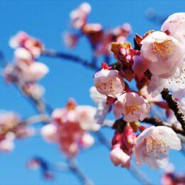 金目山光明寺で春の訪れ一足早く桜が開花@平塚市