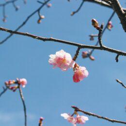 2021年早咲きの桜、初見え【多摩市乞田・貝取ふれあい広場公園】