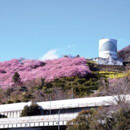 <記者レポ>「ソロ花見」を遠くから!@松田町・西平畑公園&大井町・未病バレー「ビオトピア」