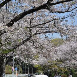 【街歩きレポ3】お花見から寺巡りまで 横浜市金沢区富岡東で歴史さんぽ