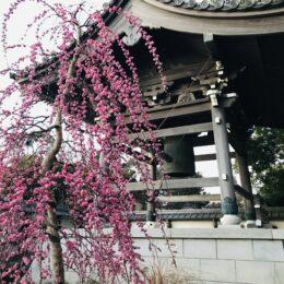 枝垂れ梅の名所・藤沢市常立寺 紅白の梅にうっとり