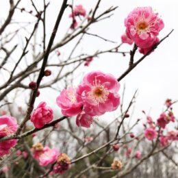 梅の見ごろは2月下旬から 梅林に植えられた約250本の梅の花@本町田:薬師池公園