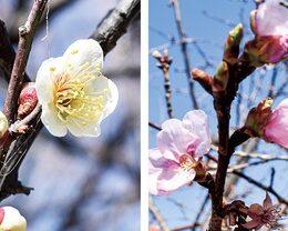 2021年も2月下旬が見頃 春の訪れ告げる花(海老名市相模三川公園)