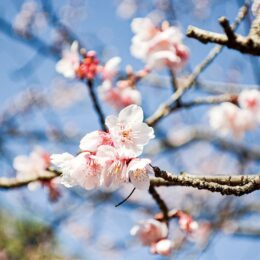 冬に咲く「寒桜」@相模原市南区:県立相模原公園