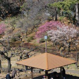 大倉山公園梅林「観梅会」2021年は中止 陽気に誘われ、観梅客も【横浜市港北区】