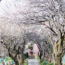 【秦野でお散歩】香雲寺で春散策 200m続く梅林トンネルの見ごろは?
