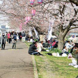 【開催中止】「鴨居桜まつり」2020年に続きコロナで2021年も中止決定
