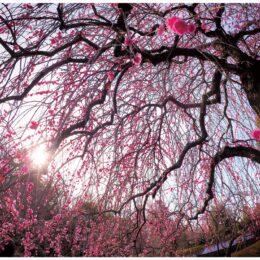 【横浜市】港北区内で撮影した区の花「梅」の写真を募集「2021こうほく梅の写真コンテスト」