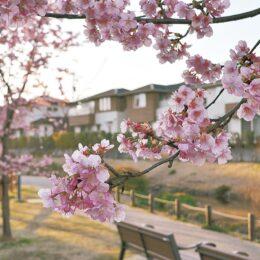 【秦野でお散歩】今泉あらい湧水公園 河津桜が見ごろに