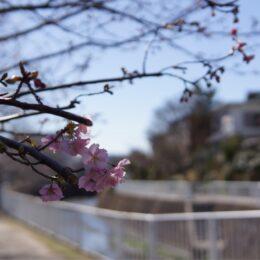 【横浜市港南区・平戸永谷川】河津桜ちらほら咲き始める!2021年「第9回さくらまつり」も開催