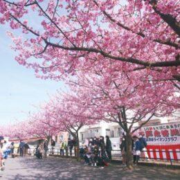 【横浜市港南区・平戸永谷川】河津桜満開