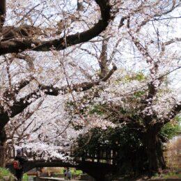 60年余紡ぐ桜並木が見頃 、2キロ400本の桜が水辺を彩る<川崎・二ヶ領用水宿河原堀>