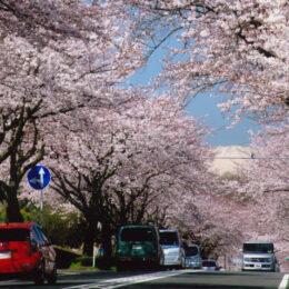 <スイーツ巡り編>秦野の名所「はだの桜みち」で楽しむハダ恋桜ショッピングウォーク