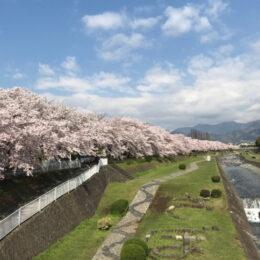 <桜満喫編>秦野の名所「はだの桜みち」で楽しむハダ恋桜ショッピングウォーク