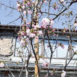 鎌倉駅西口広場の桜『桐ケ谷』が開花  見ごろは3月下旬~4月上旬