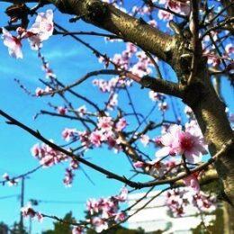 お花がそっくり?桜じゃなくてアーモンドの花なんです!@平塚市