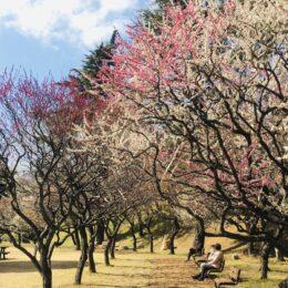 「保土ケ谷公園」 春陽気に誘われ 120本の梅、色とりどり