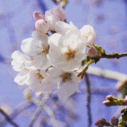 「桜のトンネル」潜ってみる? 藤沢市・引地川親水公園