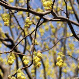 野生では珍種の「トサミズキ」くりはま花の国で開花