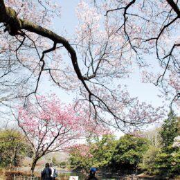 日本さくら名所100選「三ツ池公園」桜78品種が順次4月下旬まで楽しめる「宴会は自粛を」(横浜市鶴見区)