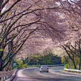 <箱根町>駆け抜ける桜のトンネル@アネスト岩田ターンパイク箱根