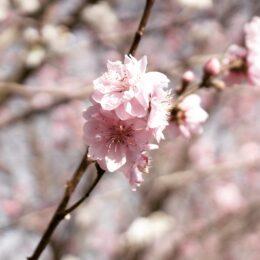 まるで気分は桃源郷 地元民オススメな「桃の道」とは?