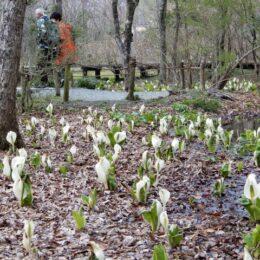 【箱根湿生花園】令和3年度は3月20日より開園!箱根に春の訪れを告げる水芭蕉が見頃です!