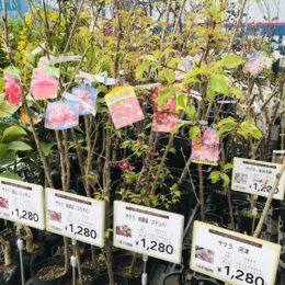 桜の苗木の販売/カインズ秦野店(秦野市)