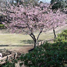 桜の季節はじまる(綾瀬市小園公園)