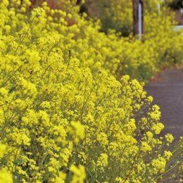 山北町の県道沿い(南原古墳群周辺)が黄一色に!菜の花が見頃