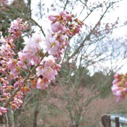 【秦野でお散歩】寺山の春めき桜が開花