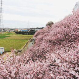 南足柄市・一ノ堰ハラネの春めき桜が見ごろ!
