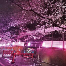 【横浜市港北区】4月初旬まで 「近場で夜桜楽しんで」@岸根町「そばの陶芸館」付近