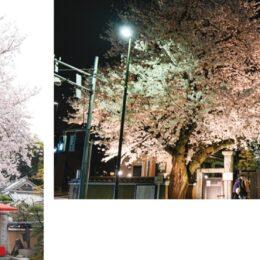 【長時間の公園利用はお控えください】2021年八王子でも桜開花 信松院ではライトアップも