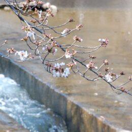 町田の桜を楽しむ公式ガイドブック発行!2021年「さくらまつり」は中止