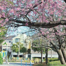 横浜緋桜(よこはまひざくら)ひと足早く咲き誇り @横浜市港南区 東永谷桜台公園