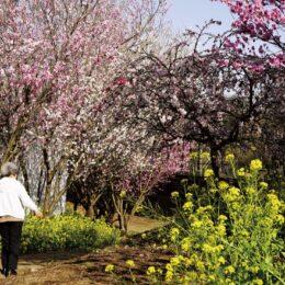 春らんまん 『藤沢女坂花桃の道』ピンク・白・黄の「三色競演」ピークは3月末~4月上旬