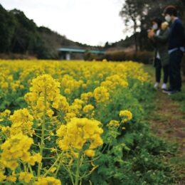 菜の花が満開!@横浜市旭区 追分市民の森