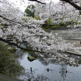 【横浜市】春の港北さんぽ 今が見ごろ、満開桜めぐり