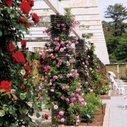 2021年<川崎市多摩区・生田緑地ばら苑> 2年ぶり、春の一般開放~色とりどりのバラを楽しんで~