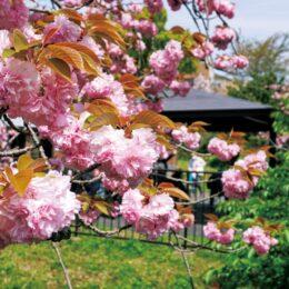 横浜市戸塚区・谷矢部池公園で、春らんまんの八重桜  4月18 日「ぷらっと」フェスも開催!