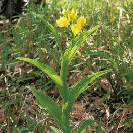 黄色の花を鈴なりに!ラン科の希少植物「キ ン ラン」が見ごろ@横浜市泉区・中田中央公園