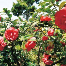 200種類以上の椿が咲き誇る「氷室椿庭園」のツバキ鮮やかに@茅ヶ崎市
