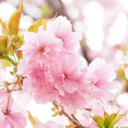 <2021年4月18日>横浜・関内で「関内フェスタ・さくらまつり」