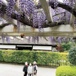 藤沢の新林公園などフジ棚が見頃 <紫色の花穂、たわわに>
