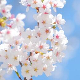 【横浜市港北区】新羽ケアプラで「桜」が満開「桜サクPROJECT」桜づくりに参加も