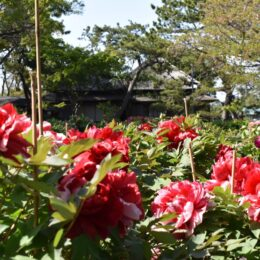 横浜市金沢区の花ボタンが見ごろ <旧伊藤博文金沢別邸や龍華寺で>